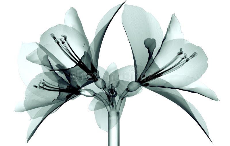 Röntga bilden av en blomma som isoleras på vit, Amaryllis royaltyfri bild