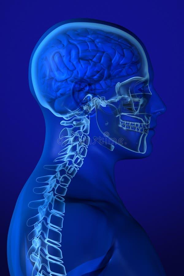 Röntgen Sie Anatomie auf Blau lizenzfreie abbildung