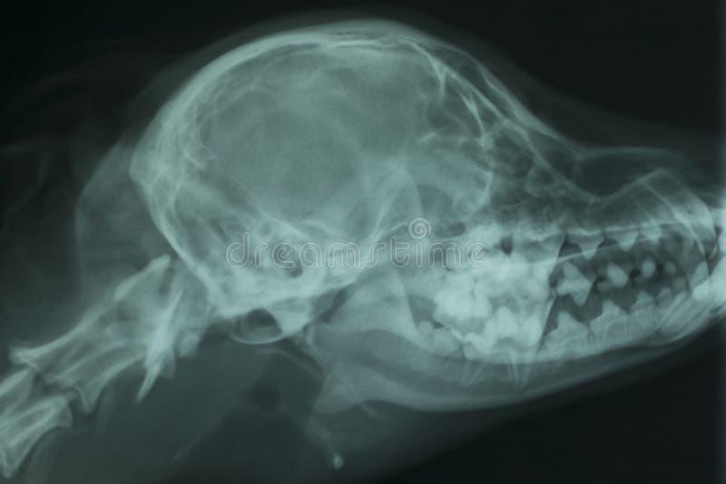 Röntgenstråle av skallen av en hund royaltyfri fotografi