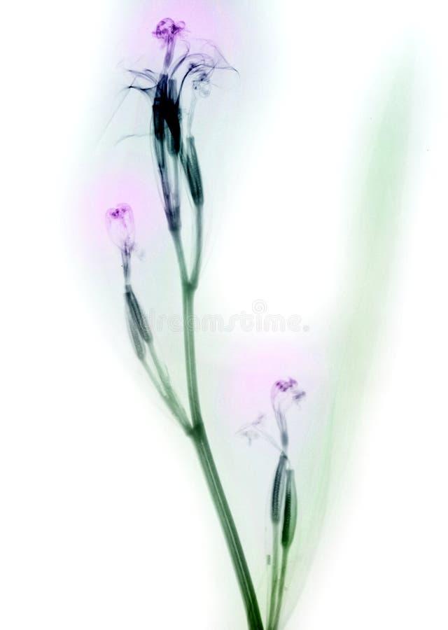 Röntgenstraal van daylily bloemen stock afbeeldingen
