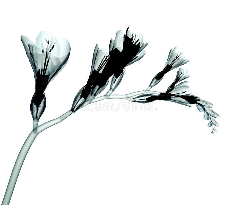 Röntgenstraalbeeld van een bloem op wit, de Fresia royalty-vrije stock afbeelding