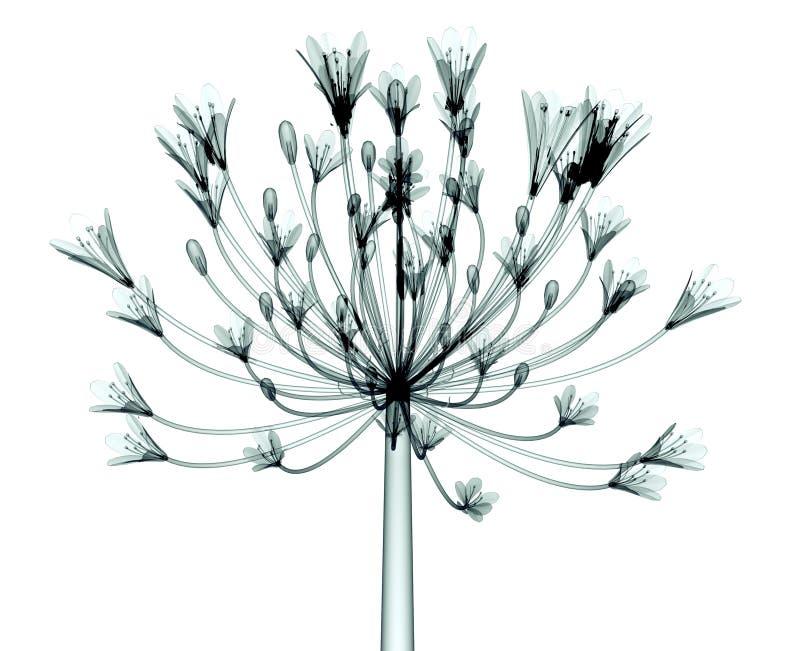 Röntgenstraalbeeld van een bloem op wit, de Klok Agapanthus wordt geïsoleerd die vector illustratie