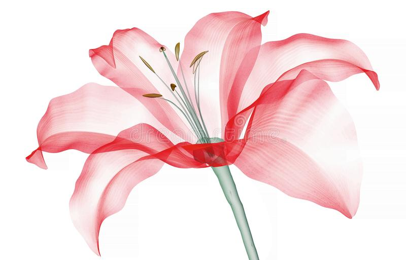 Röntgenstraalbeeld van een bloem op wit, de Lelie wordt geïsoleerd die royalty-vrije illustratie