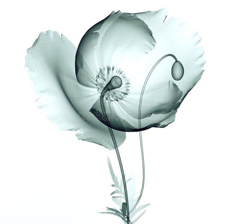 Röntgenstraalbeeld van een bloem op wit, de papaver stock foto's