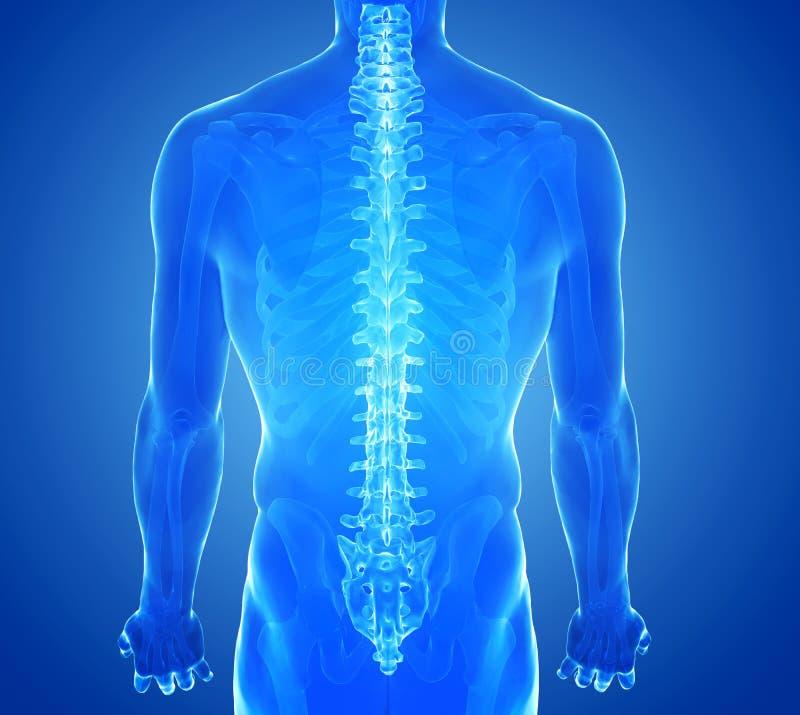Röntgenstraalmening van Menselijke Stekel royalty-vrije stock afbeelding