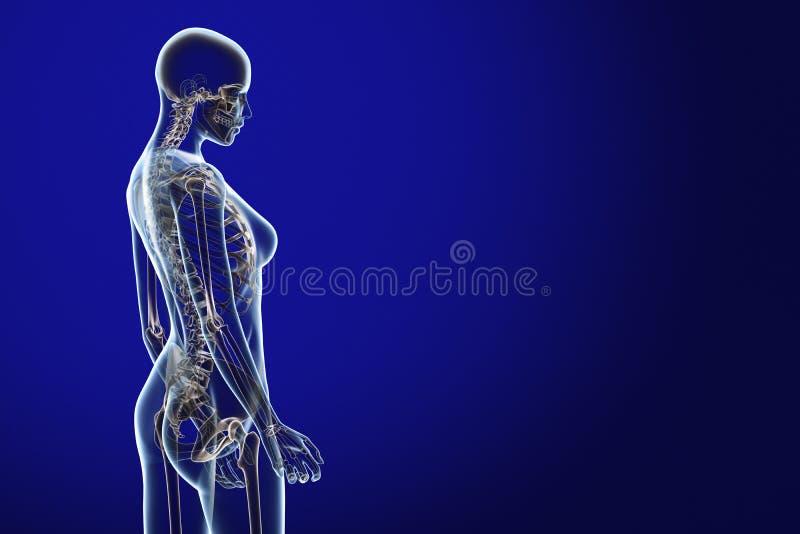 Röntgenstrahl-Anatomie auf Blau vektor abbildung