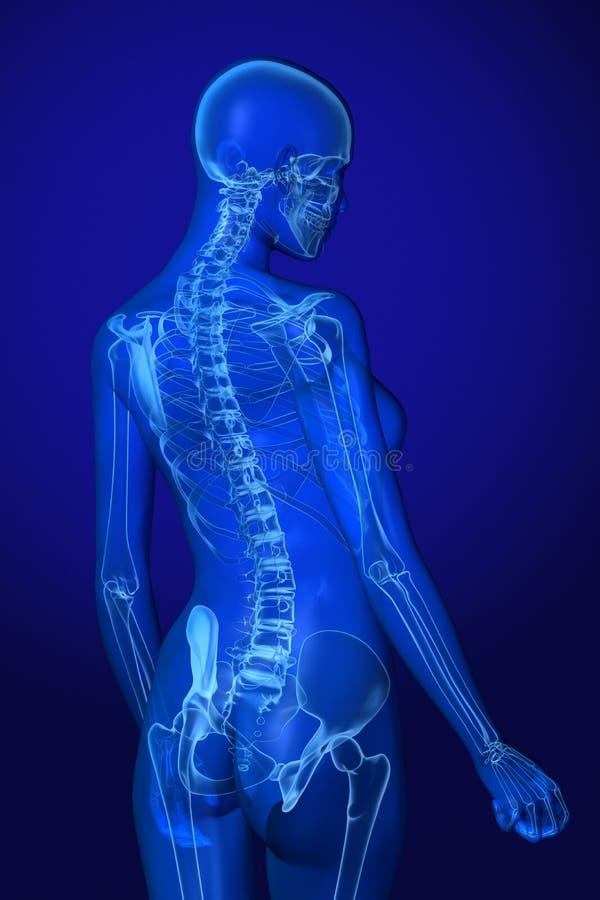 Röntgenstrahl-Anatomie Auf Blau Stock Abbildung - Illustration von ...