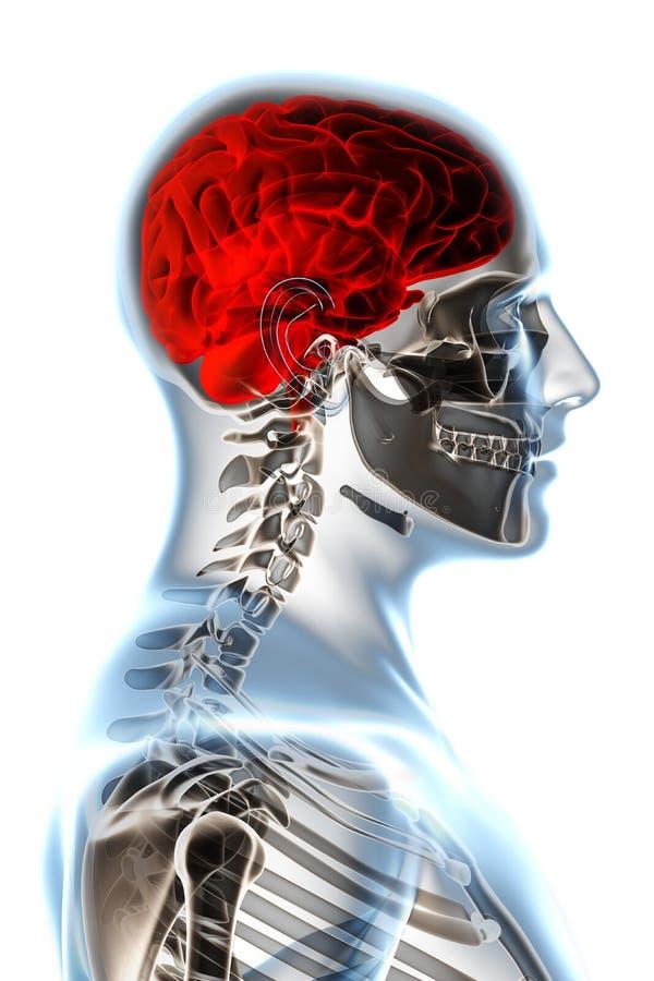 Röntgenstrahl-Anatomie auf Weiß stock abbildung