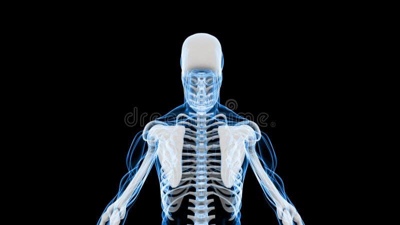 Röntgenstrahl-Scan Des Menschlichen Skeletts (HD) Stock Footage ...