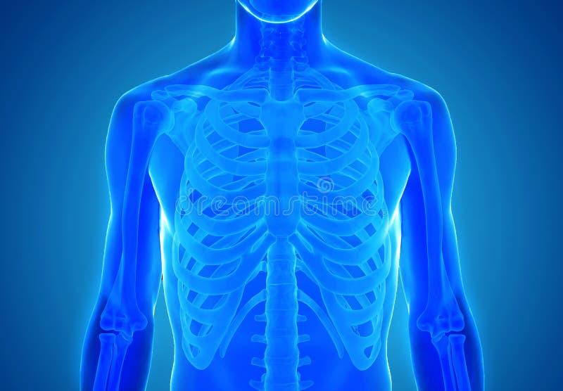 Röntgenstrahlansicht der menschlichen Anatomie im Blau lizenzfreie stockfotos