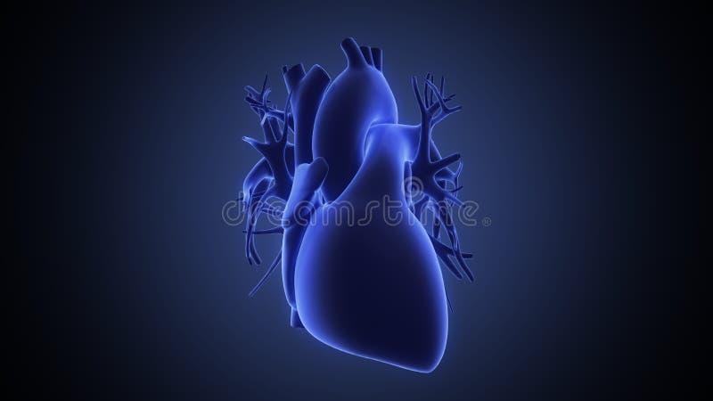 Röntgenstrahlansicht des menschlichen Herzens lizenzfreie abbildung