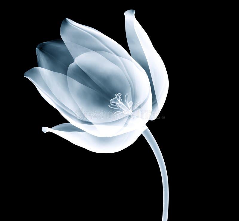 Röntgenstrahlbild einer Tulpenblume lokalisiert auf Schwarzem lizenzfreie stockfotografie