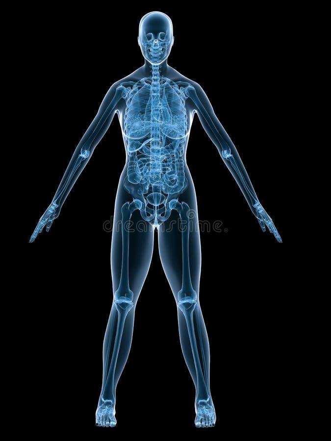 Röntgenstrahlfrauanatomie vektor abbildung