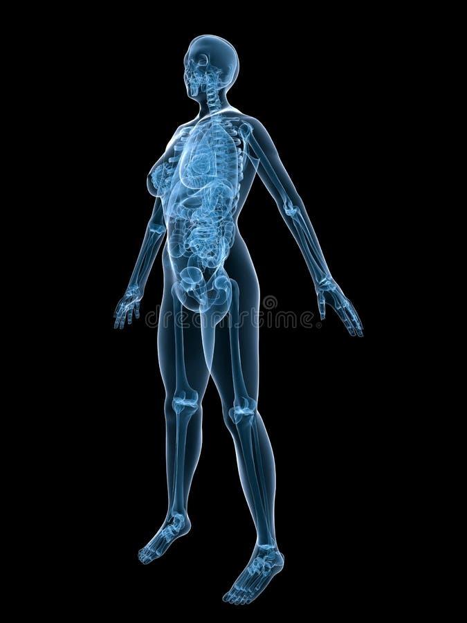 Röntgenstrahlfrauanatomie lizenzfreie abbildung