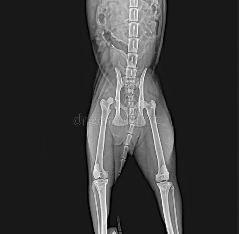 Röntgenstralen van het been van de het dijbeendij van de heupdislocatie hoofd bij een hond royalty-vrije stock foto