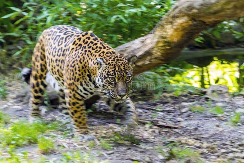 Rörande prickig jaguar fotografering för bildbyråer