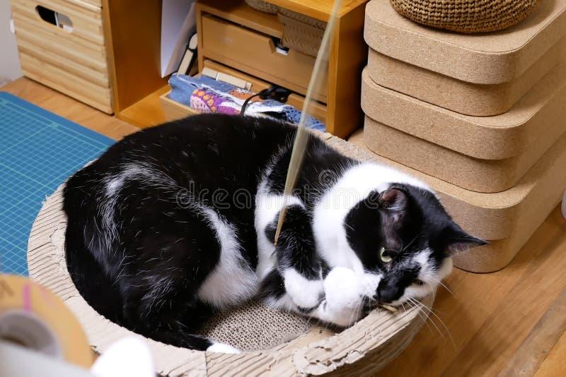 Rörelse av strimmig kattkatten som håller ögonen på och spelar med folk royaltyfri bild