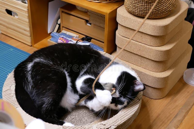 Rörelse av strimmig kattkatten som håller ögonen på och spelar med folk arkivbilder