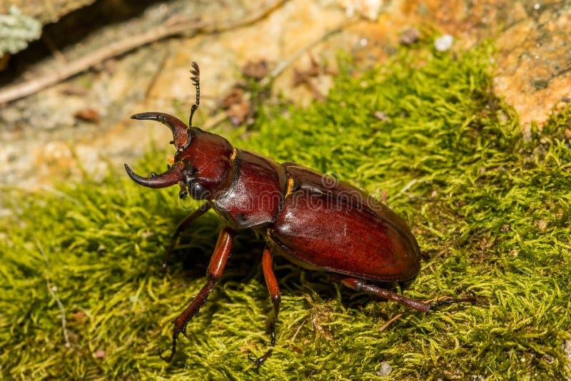 Rötlich brauner Hirsch-Käfer lizenzfreies stockbild