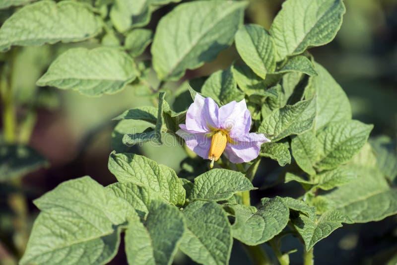 Rötliche Blume einer Kartoffelpflanze lizenzfreies stockfoto