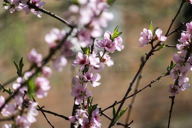 Rötliche Blumen eines blühenden Kirschbaums lizenzfreie stockfotografie