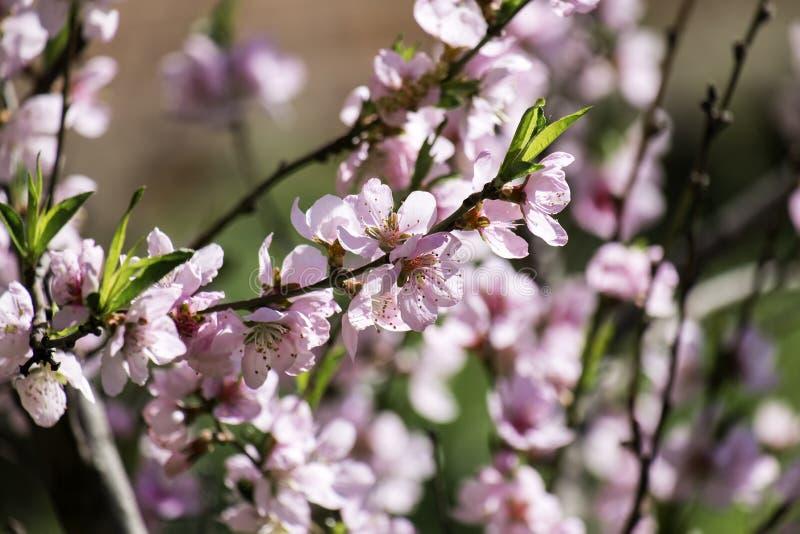 Rötliche Blumen eines blühenden Kirschbaums lizenzfreie stockbilder