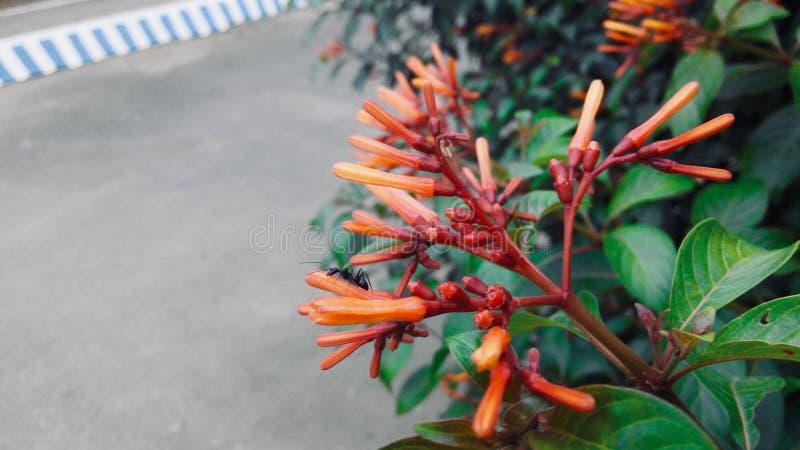 Rötliche Orangen-Blume lizenzfreie stockbilder