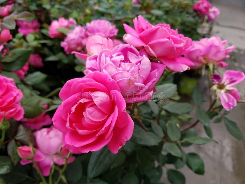 Rötliche rosa knockout Rosen lizenzfreies stockbild