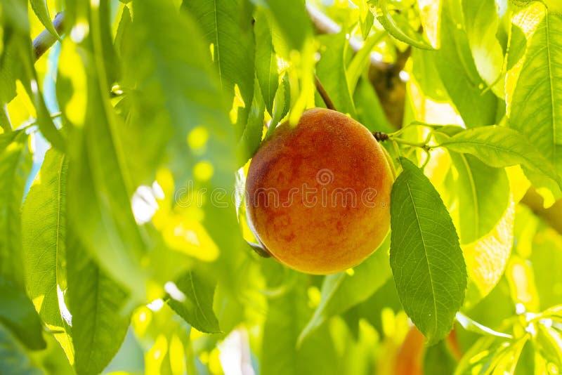 Rötlicher reifer Pfirsich auf einem Baum lizenzfreies stockfoto