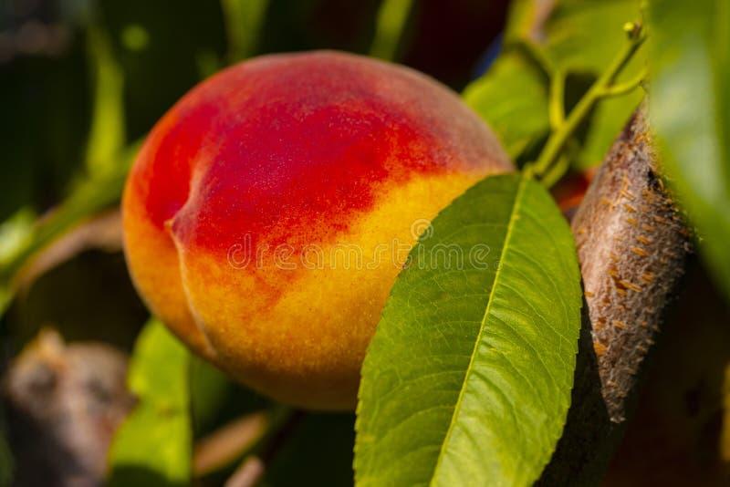 Rötlicher reifer Pfirsich auf einem Baum stockbilder