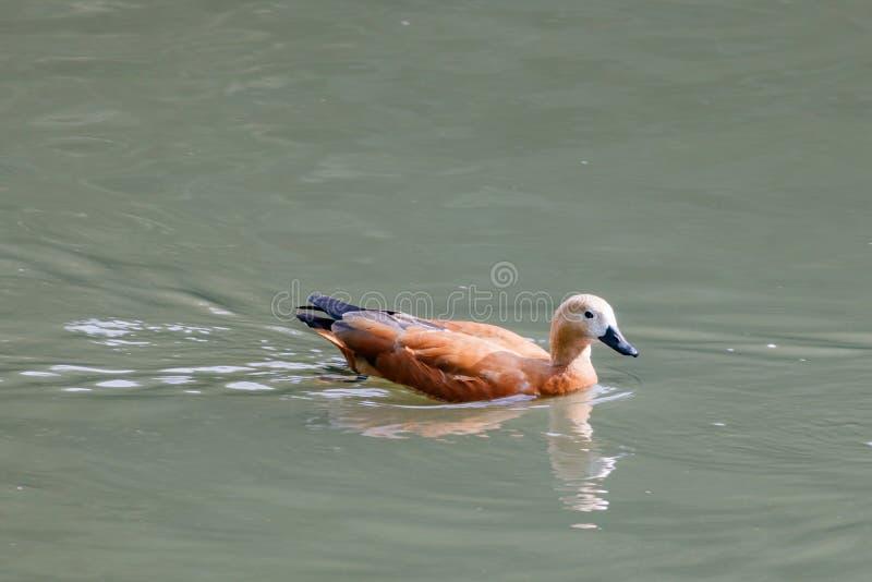 Rötliches shelduck, das auf den See an einem sonnigen Tag schwimmt lizenzfreie stockbilder