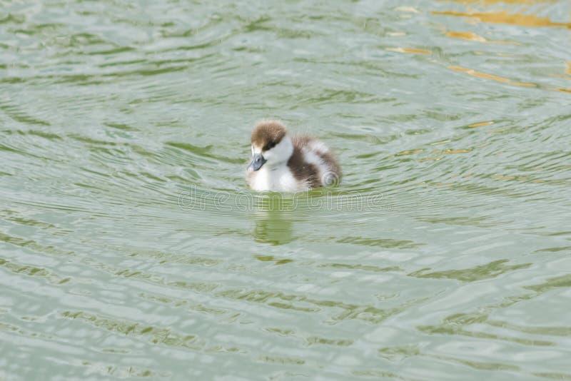 Rötliches shelduck oder Tadorna ferruginea kleine Kükennahaufnahme-Porträtschwimmen im Teich, selektiver Fokus, flacher DOF stockfoto