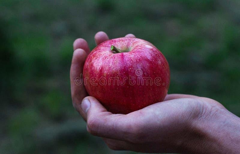 rött äpple på handen royaltyfria bilder
