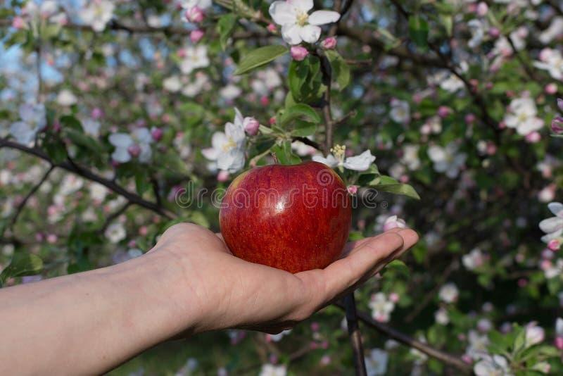 Rött äpple på handen på bakgrund för äppleblomningträd arkivfoton