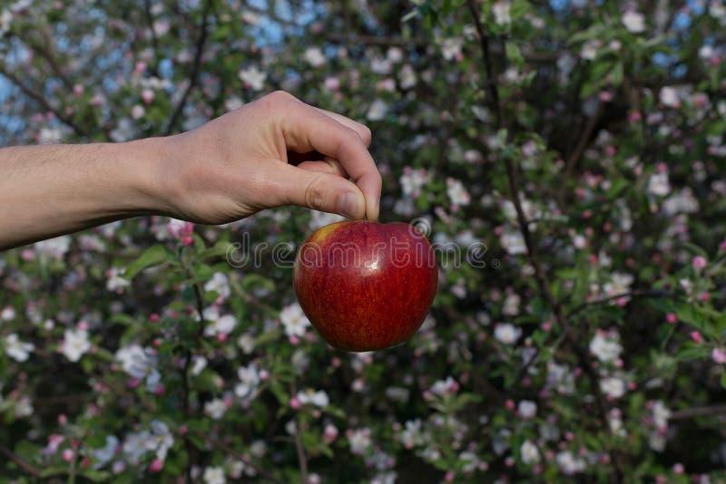 Rött äpple på handen på bakgrund för äppleblomningträd royaltyfri fotografi