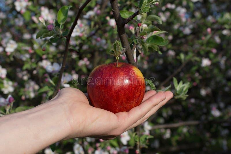 Rött äpple på handen på bakgrund för äppleblomningträd fotografering för bildbyråer