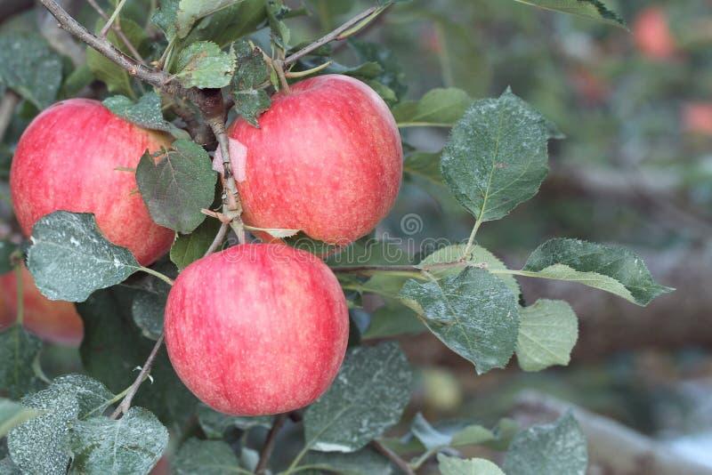 Rött äpple på träd i höst fotografering för bildbyråer