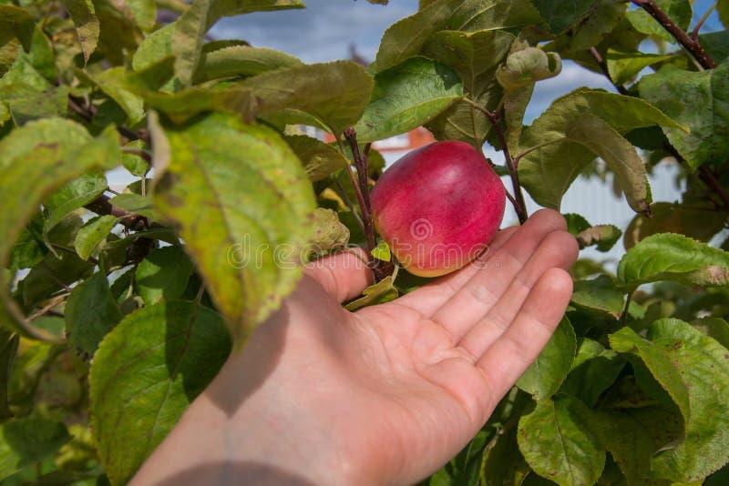 Rött äpple på träd och hand som visar sund mat och bra skördbegrepp arkivbild