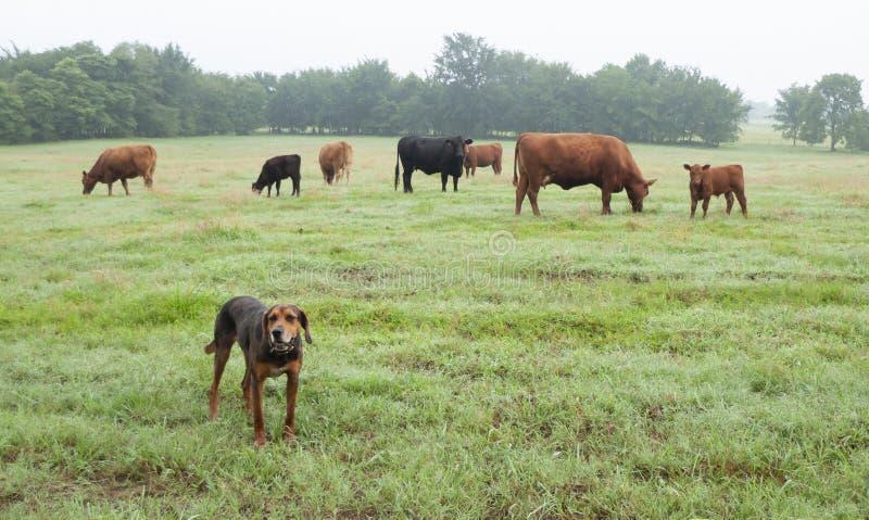 Rött Angus nötkreatur som betar i en gräsplan, betar med lantgårdhunden arkivfoton
