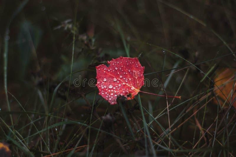Rött asp- blad med brusanderegndroppar på grönt gräs i höstskognärbild av höstlövverk royaltyfri fotografi