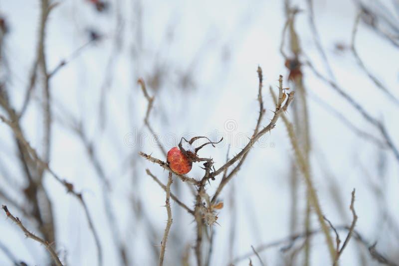 Rött bär med ryggar på vinterbakgrund royaltyfria bilder