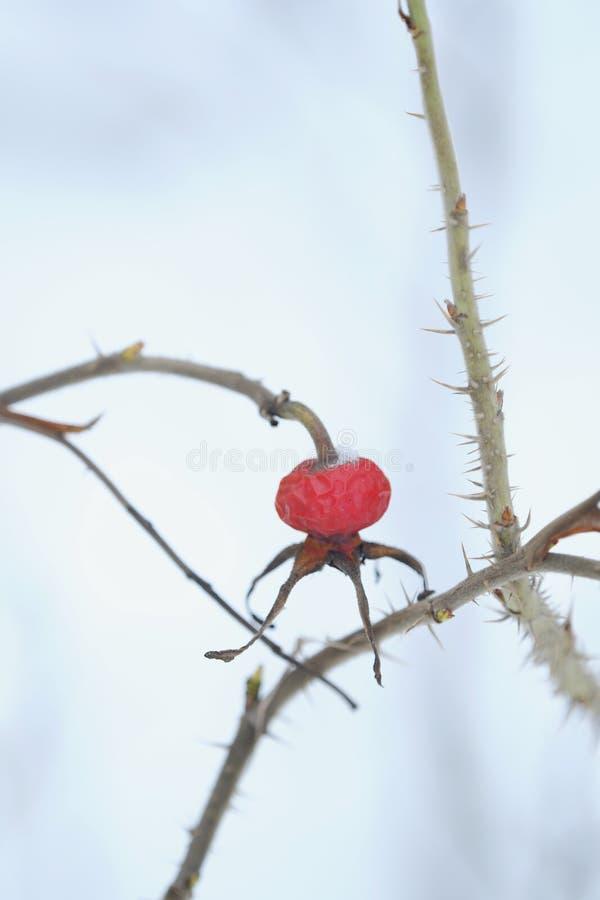Rött bär med ryggar på vinterbakgrund arkivfoton