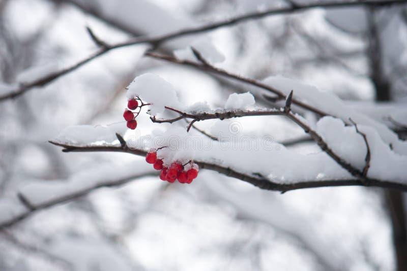 Rött bär under snön arkivfoton