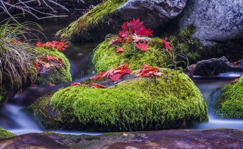 Rött blad på den våta mossastenen i vatten royaltyfria bilder