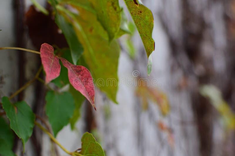 Rött blad på väggen fotografering för bildbyråer