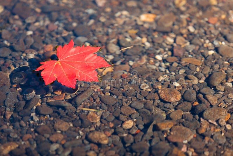Rött blad som svävar i vatten royaltyfri fotografi
