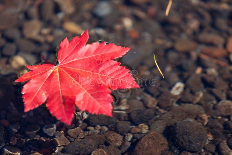 Rött blad som svävar i vatten arkivbild