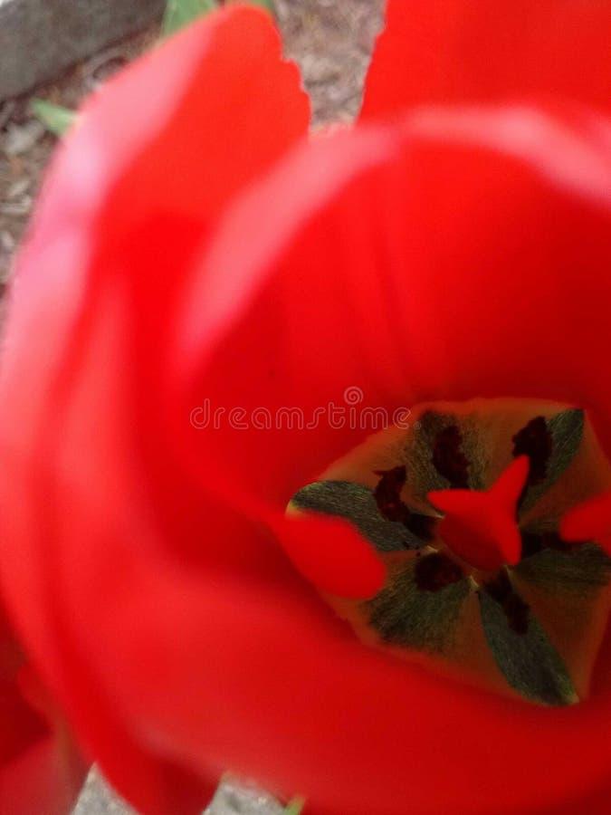 Rött blomma för tulpan arkivfoto