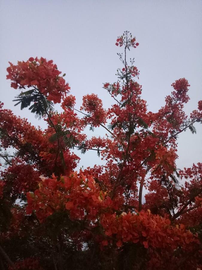 Rött blommalagerträd royaltyfri foto