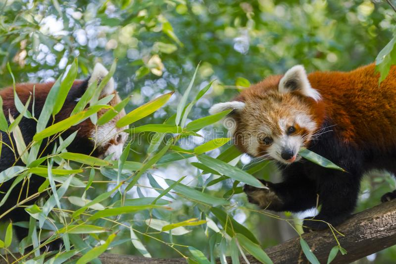 Rött eller lesser panda arkivbild